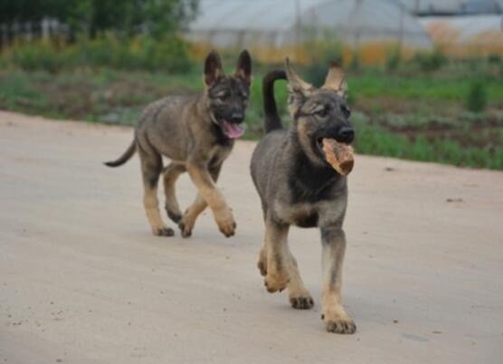 买昆明犬到哪里买好云南昆明是昆明犬的发源地