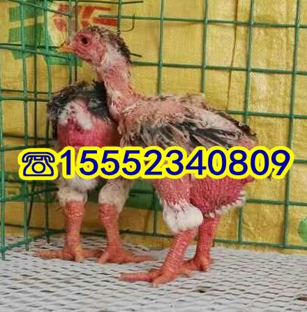 东涛鸡苗价格大脚鸡粗腿鸡纯种越南东涛鸡养殖场