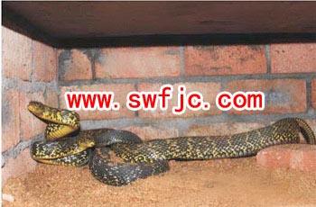 然而天气渐冷,蛇冬眠的习性成了养殖的一大难题:如让蛇正常冬眠,