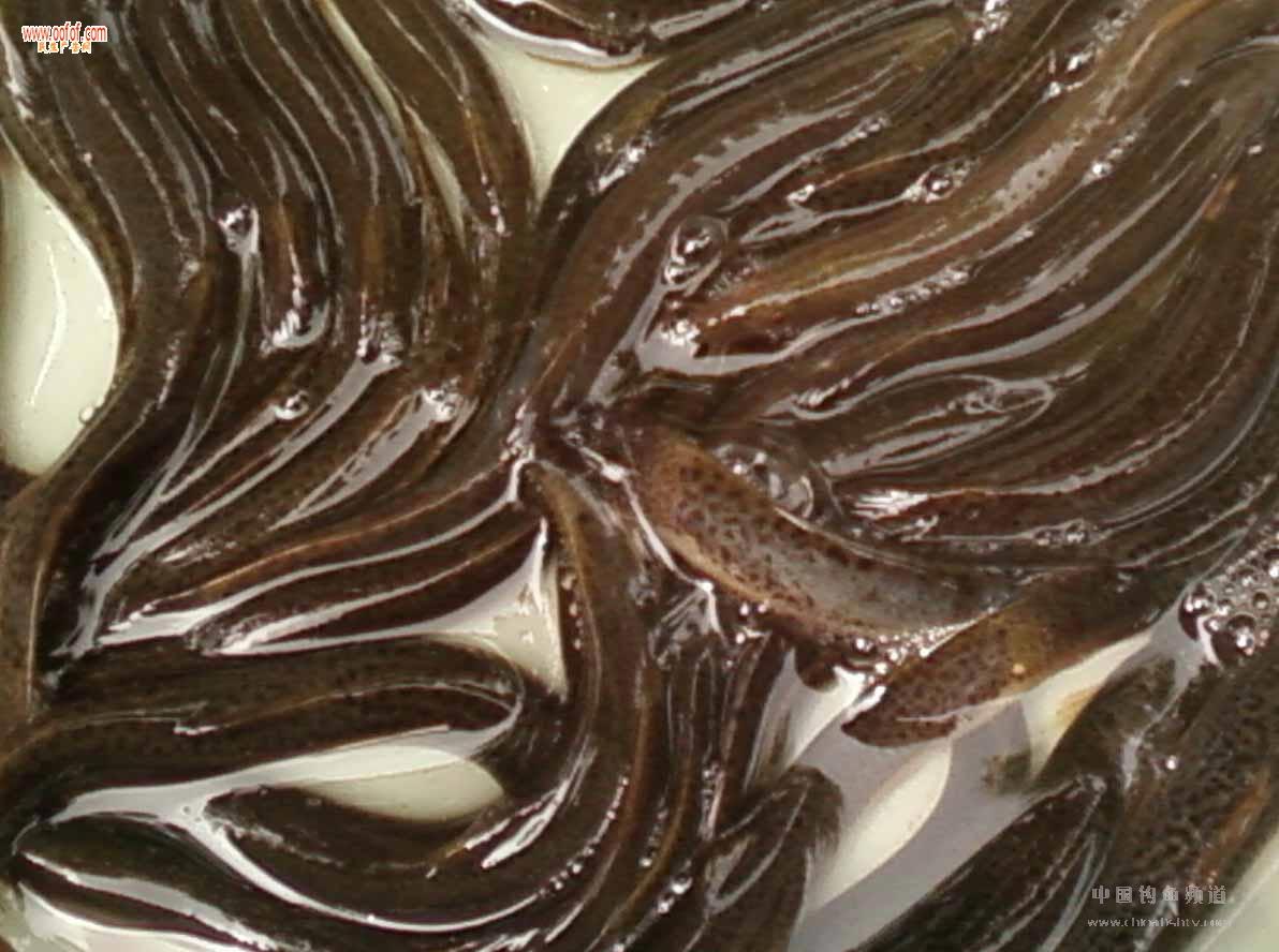 泥鳅养殖,龙虾养殖,黄鳝养殖,水蛭养殖,天麻种植